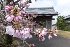 尊光寺 門前 桜
